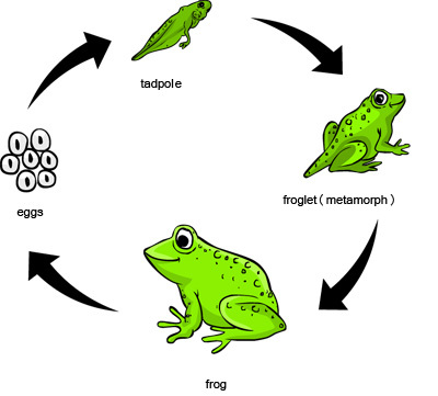 Frog Life Cycle - Let's Learn! - photo#16
